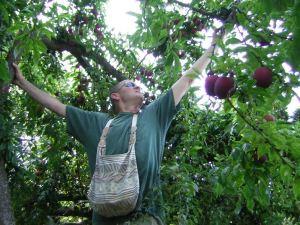 Volunteer Dave Beeman picks plums to add to City Fruit's harvest.