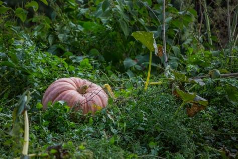 The_Farm_Pumpkin_Harvest_05